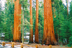 Group of Sequoia Trees - Mariposa Grove